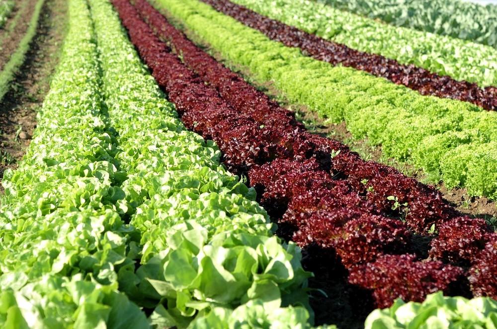 Höri Gemüsefelder